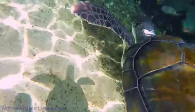 Mermaid & Sea Turtles: Mermaid Melissa Swims With Turtles Underwater GIFs