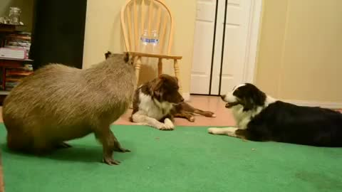 Watch and share Capybara GIFs and Dogs GIFs by Crazy Cody's Creatures  on Gfycat