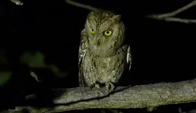 Watch Scops owl GIF on Gfycat. Discover more related GIFs on Gfycat