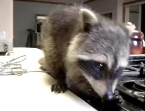 Watch raccoon GIF on Gfycat. Discover more raccoon GIFs on Gfycat