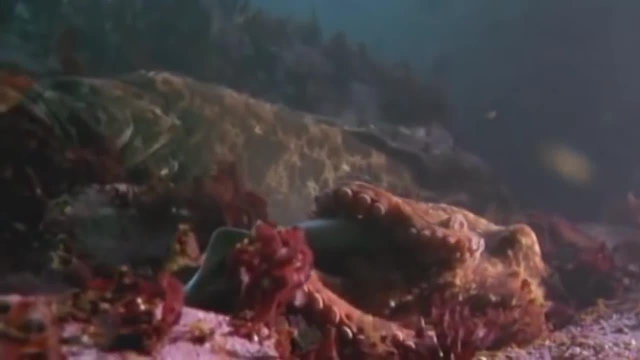 An octopus swallows a shark, An octopus swallows a shark copmlete (A shark gets involved in an octopus trap) GIFs