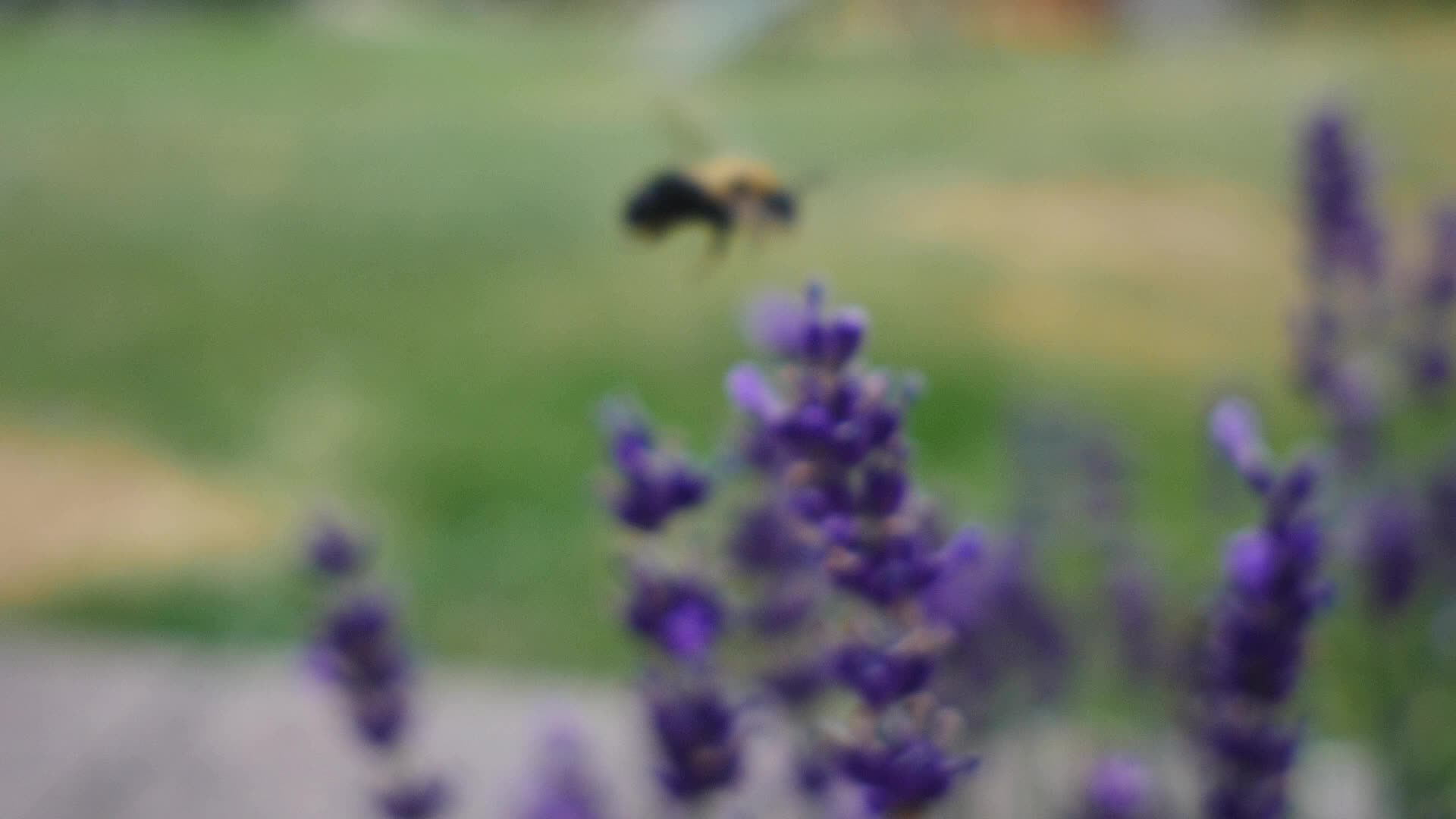 bee, bumblebee, gh4, insect, lumix, nature, salvia, spring, Bumblebees are my Spirit Animal GIFs