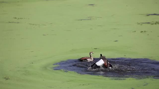 Watch this geese GIF by @londolozi on Gfycat. Discover more animal, animals, bird, geese, goose, nature GIFs on Gfycat