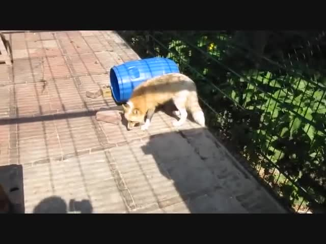 domesticated, fox, russia, Russian Domesticated Foxes GIFs