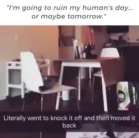 Watch I'm going to ruin my human's day....or may be tomorrow GIF on Gfycat. Discover more catgifs GIFs on Gfycat