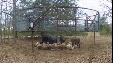 Watch and share Catching Wild Pigs : Gifs GIFs on Gfycat