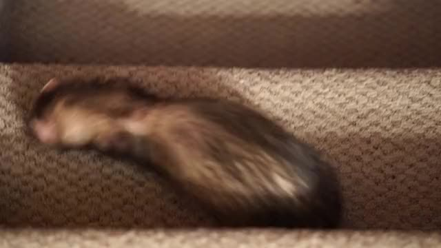 Watch and share Ferret Stairs GIFs on Gfycat