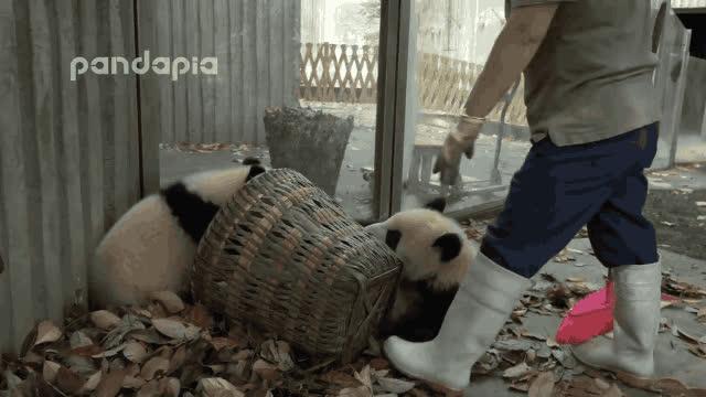baby panda gifs GIFs