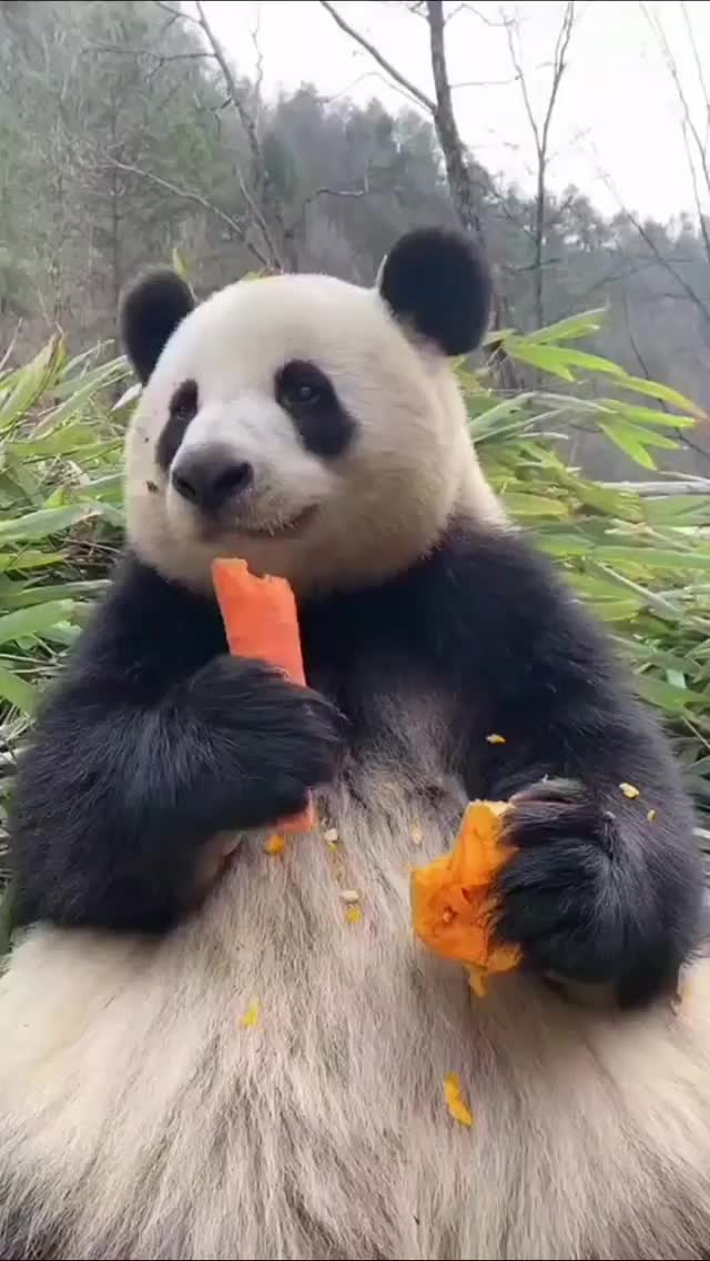 Watch and share Panda Munching On Carrot GIFs by Boojibs on Gfycat