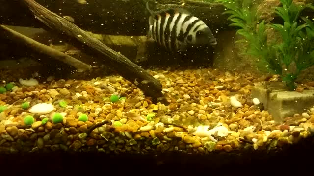 Watch Convict Fry Feeding GIF by @brendanm8 on Gfycat. Discover more Aquarium, Convict, Fry GIFs on Gfycat