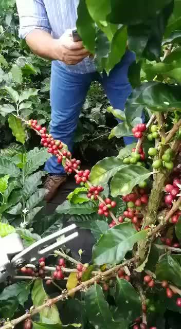 Harvest coffee beans GIFs
