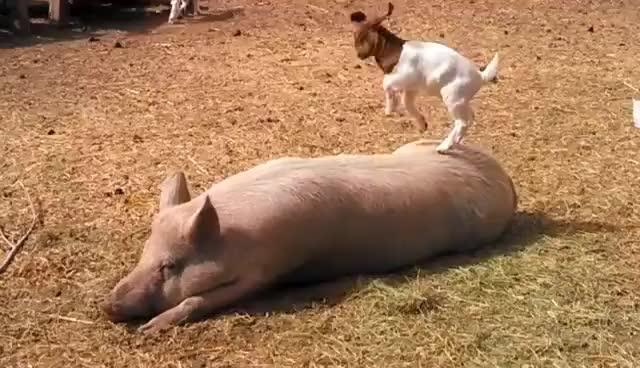 Goatpig Pig Goat Baby Kid Playing Kids Playful