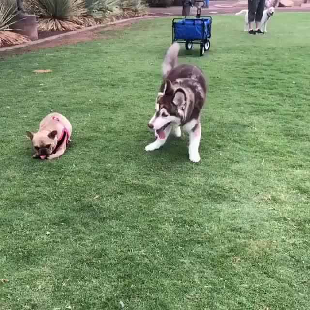 Watch and share Huskynation GIFs and Lovepuppies GIFs on Gfycat