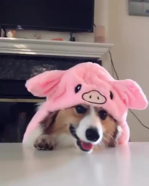 Watch and share Corgiplanet GIFs and Funnyvideos GIFs by vani  on Gfycat