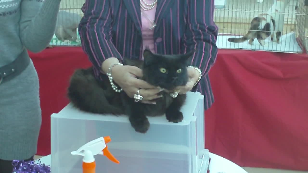 mainecoons, black maine coon presented GIFs