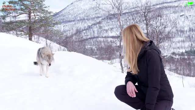 Watch this wolf GIF on Gfycat. Discover more Anneka Svenska, Arctic Circle, European wolves, Narvik, Norway, Norweigen wolves, Polar Park, The Arctic, WolfGirl, animal, animals, arctic, huge wolf, massive wolf, wildlife, wolf, wolf bite, wolf girl, wolfdog, wolves GIFs on Gfycat