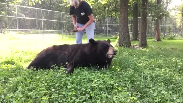 Watch Black bear belly brushy GIF on Gfycat. Discover more Maddy, animal, animals, bear, bears, orphaned, sanctuary, squirrel, wild, wildlife GIFs on Gfycat