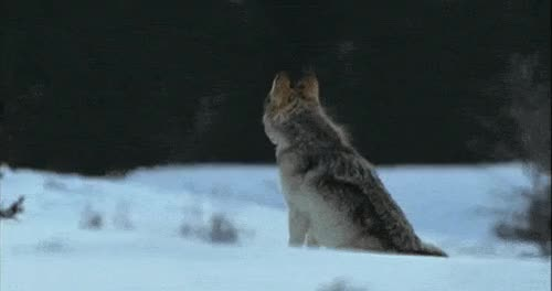 Watch this wolf GIF on Gfycat. Discover more related GIFs on Gfycat