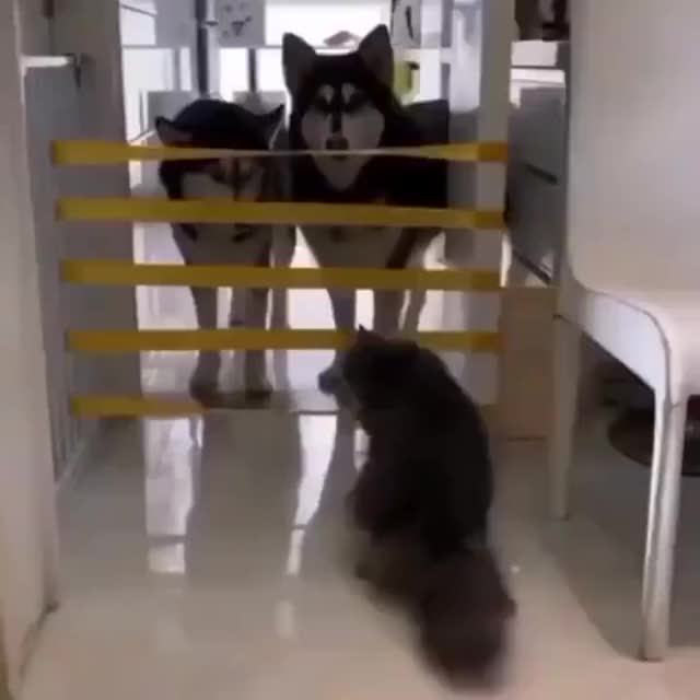 Watch and share Husky Cannot Jump GIFs and Dogs GIFs on Gfycat
