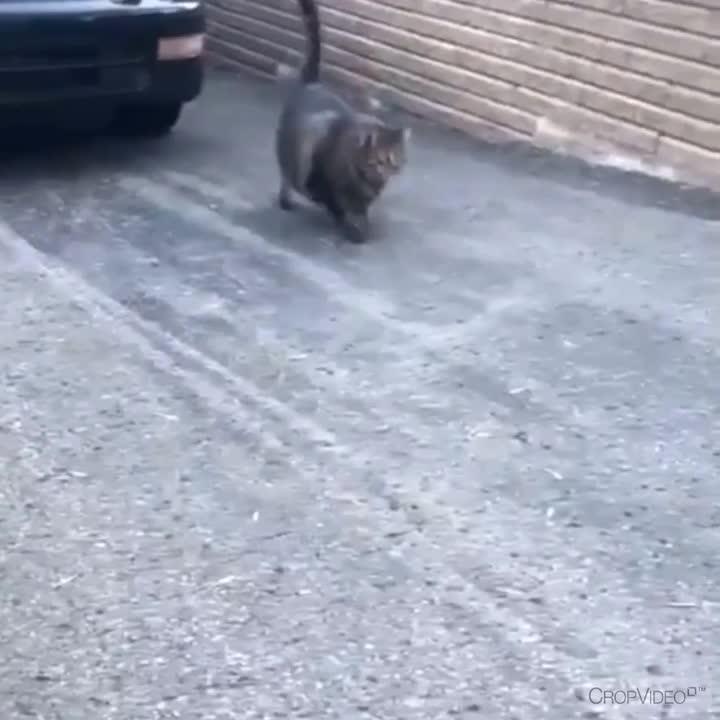 absolute unit, aww, cat, cute, Chubby Cat GIFs