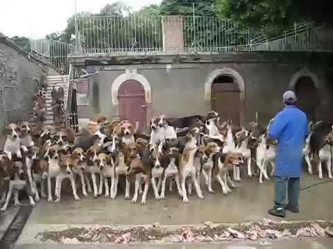 evememes, interestingasfuck, 120 Hunting dogs being fed at Cheverny, France! Amazing! (reddit) GIFs