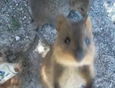 Watch and share Animals GIFs and Quokka GIFs on Gfycat