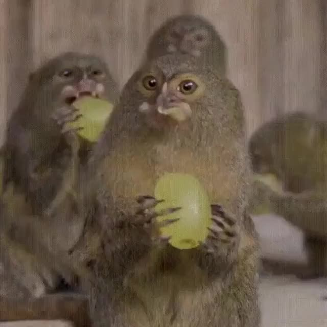 Watch and share Monkeys And Grapes GIFs on Gfycat