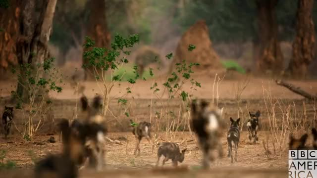 Dynasties Wolf Pack Attacking Baboons