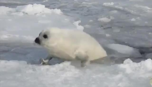 lazy, lazy harp seal GIFs