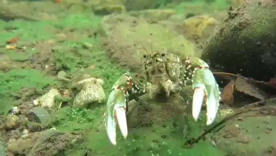 Watch Murray crayfish GIF by @tegz10 on Gfycat. Discover more related GIFs on Gfycat