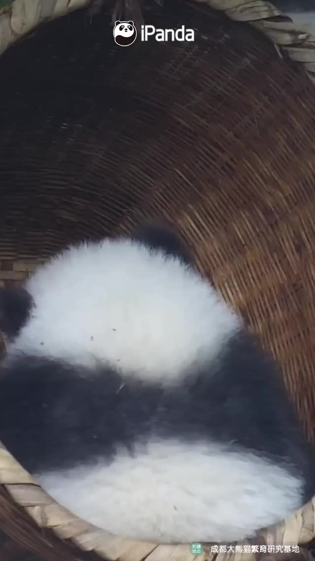 Watch and share Pandas GIFs on Gfycat