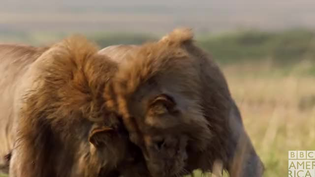 Watch this advert GIF by BBC America (@bbcamerica) on Gfycat. Discover more awww, bbc america, bbc america: dynasties, bro, cuddle, cuddles, dynasties, hug, hugs, lion, lions, love, snuggle GIFs on Gfycat