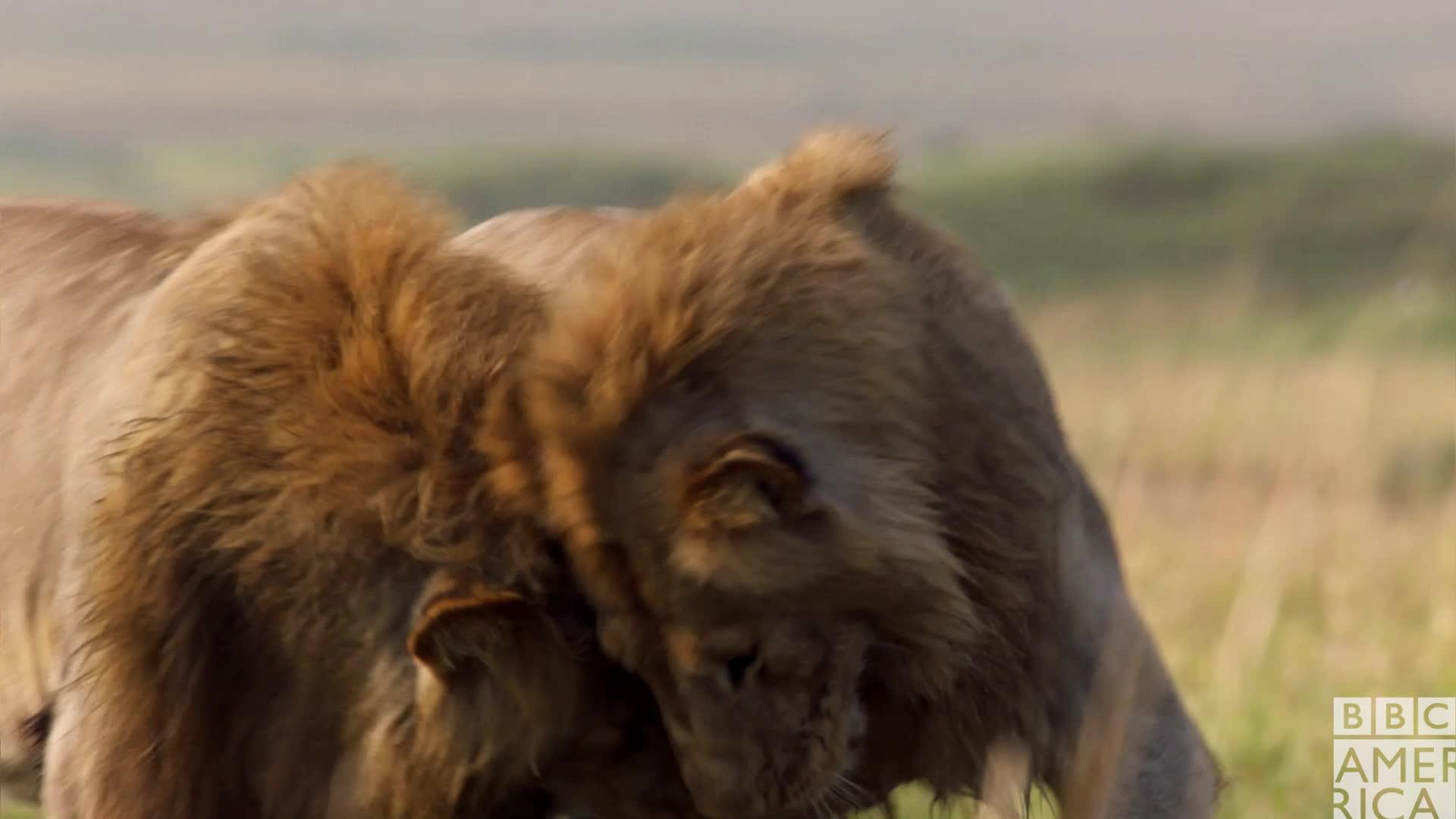 animal, animals, awww, bbc america, bbc america: dynasties, bro, cuddle, cuddles, dynasties, hug, hugs, lion, lions, love, snuggle, Dynasties Lion Bro Love GIFs