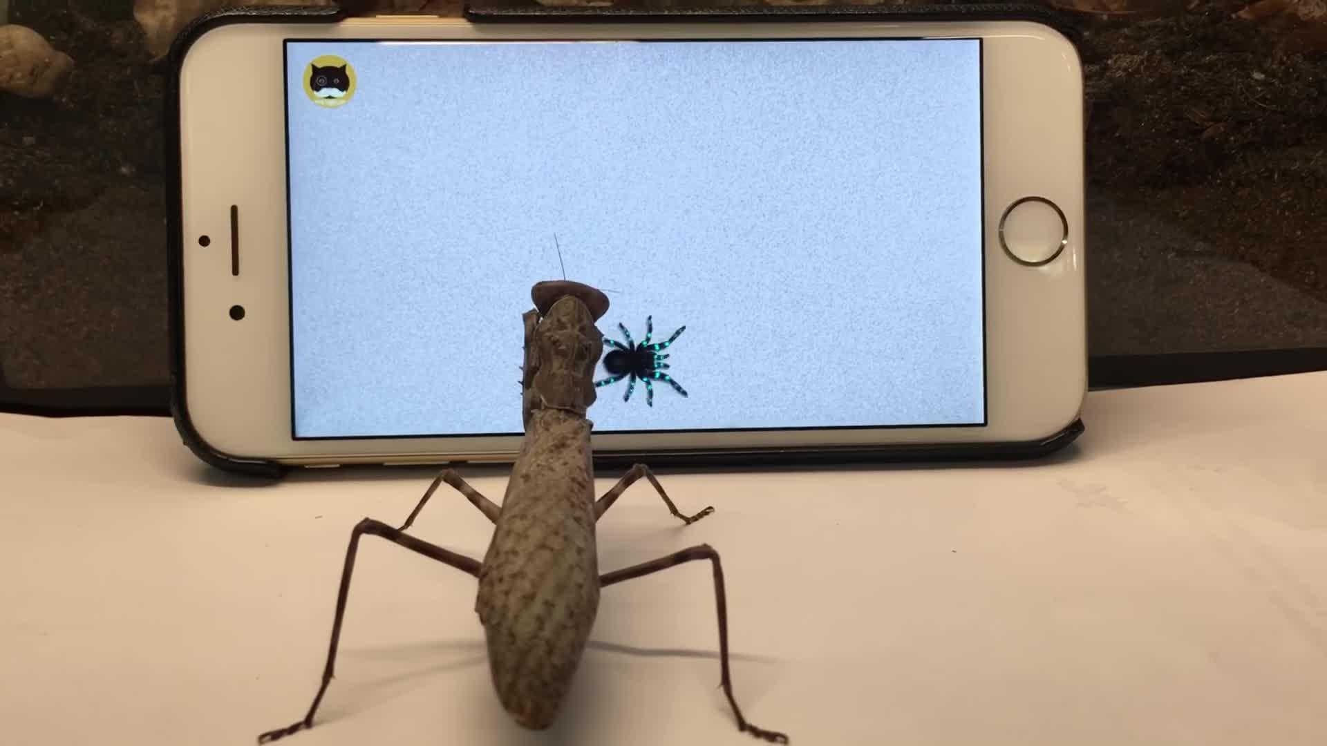 InsecthausTV, Pets & Animals, Praying mantis watching TV GIFs