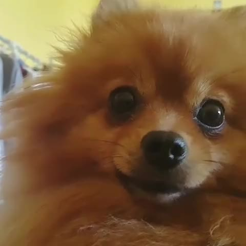 Watch and share Petstagram GIFs and Pomeranian GIFs by Олеся on Gfycat