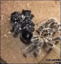 reversegif, Tarantula Getting Dressed GIFs