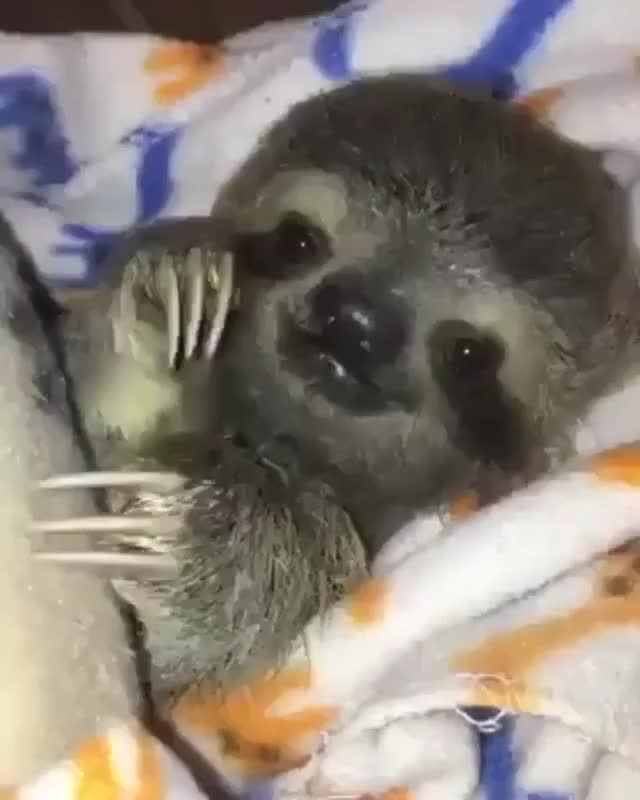 Watch and share Baby Sloth GIFs by ZAKSEV on Gfycat