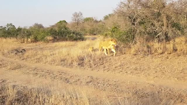 Watch and share Ntsevu Cubs GIFs by Londolozi Game Reserve on Gfycat