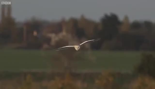 Slow-Mo Barn Owl in Flight - Unexpected Wilderness - BBC GIF