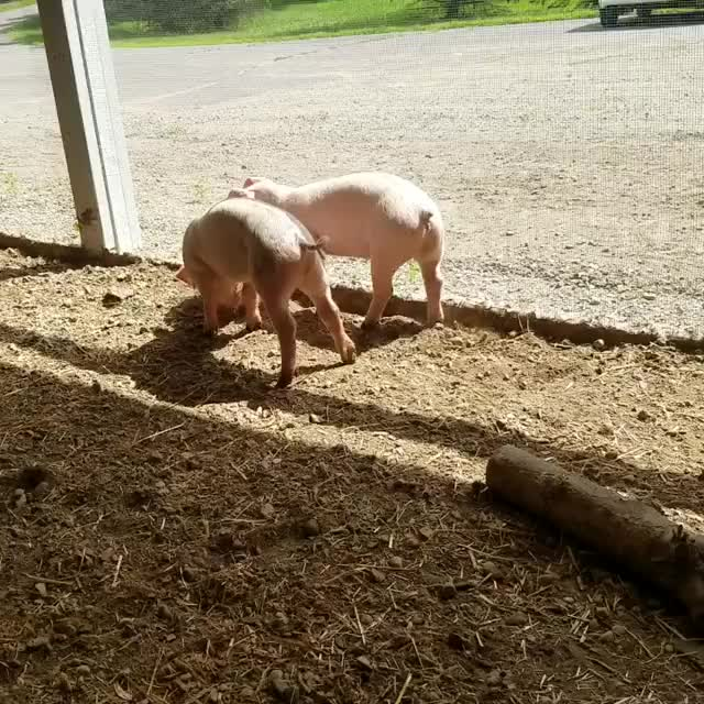 Spring Farm Sanctuary, tbt, throwbackthursday, Just a couple adorable pink puppies playing ball 🐽🐽 GIFs