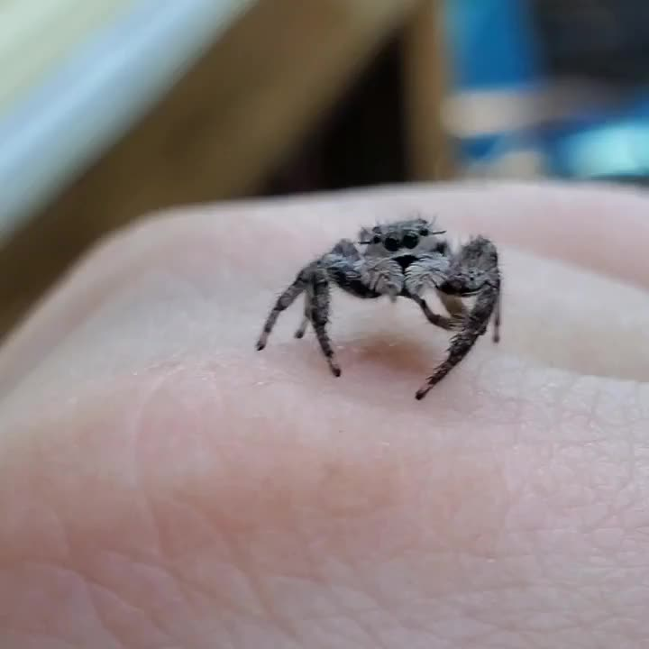 Further proof that jumping spiders are actually cats GIFs