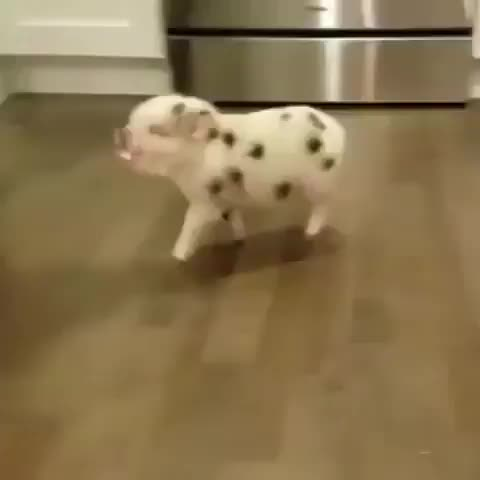 Watch this animal GIF by Ian (@boojibs) on Gfycat. Discover more animal, cute, pig, piglet, tippy taps, cute GIFs on Gfycat