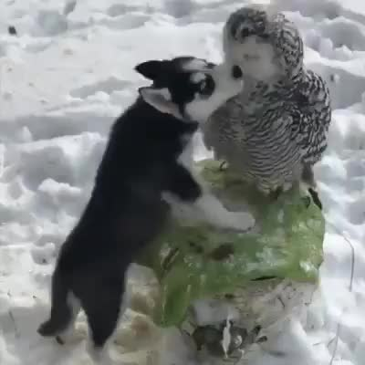Watch When will someone love me like this husky puppy loves this owl 😭😂 GIF by FarSizzle (@farsizzle) on Gfycat. Discover more related GIFs on Gfycat