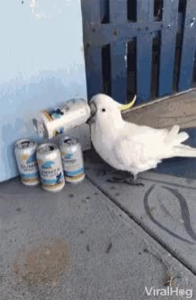 Watch and share My Parrot Taking Enjoy With Beer..... GIFs on Gfycat