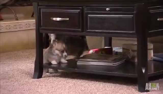 Corgi Pups Learn to Climb | Too Cute! GIFs