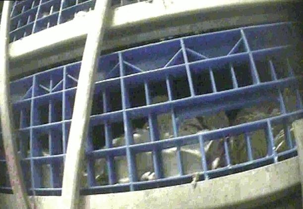 Närbild på transportlåda fullpackad med kycklingar