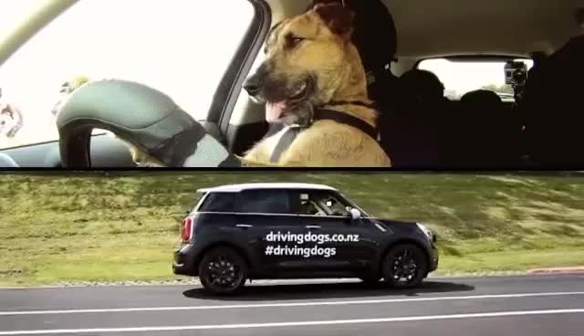 Watch Driving dog GIF on Gfycat. Discover more car, dog GIFs on Gfycat