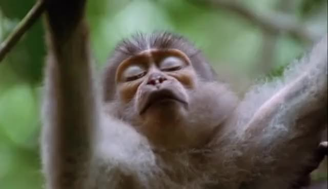 Watch this monkey GIF on Gfycat. Discover more animals, monkey, primate, red monkey, zoo GIFs on Gfycat