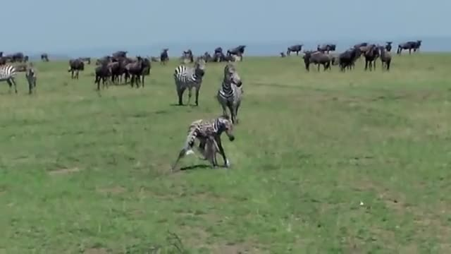 zebra gets killed by a lion