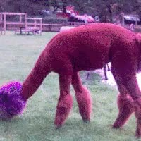 Watch ALPACA! GIF on Gfycat. Discover more related GIFs on Gfycat